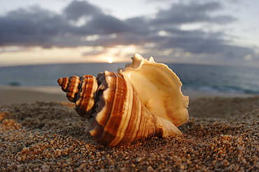 Hawaii, Oahu, North Shore, seashell laying in the sand with sun setting behind it.