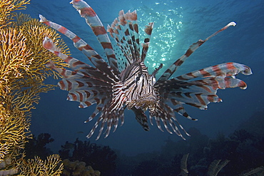 Indonesia, Lionfish (pterois volitans) floating peacefully above the reef.