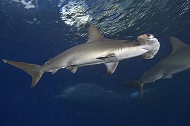 Hawaii, Scalloped hammerhead shark (Sphyrna lewini)