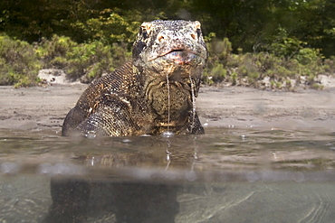 Indonesia, Komodo Dragon National Park, Split view of komodo dragon in shallow water.