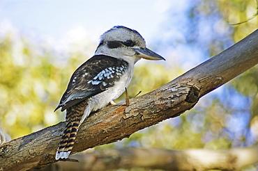 Australia, Kookaburra perched on a tree branch
