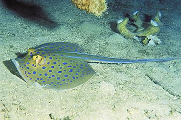Papua New Guinea, Milne Bay, Blue Spotted Fantail Stingray (Taeniura lymma) resting on ocean floor.