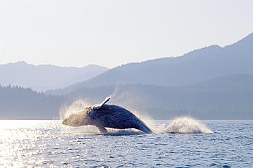 Alaska, Inside Passage, Tongass National Forest, humpback whale breaching.