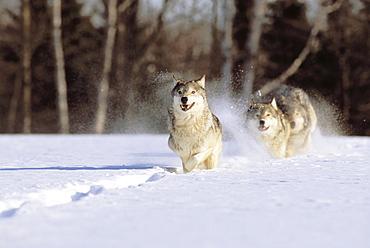 Alaska, Gray wolves charging through deep winter snow.