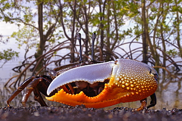 [DC] Indonesia, Fiddler crab (Uca) in mangrove forest.