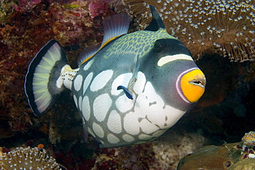 Indonesia, clown triggerfish (balistoides conspicillum) and cleaner wrasse.