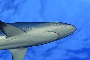 Hawaii, Grey reef shark (carcharinus amblyrhnchos) viewed from below.