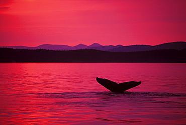 Alaska, Frederick Sound, Inside Passage, Humpback Whale (Megaptera novaeangliae) fluke at sunset