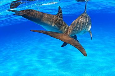 Caribbean, Bahamas, Bahama Bank, two Atlantic Spotted Dolphin, Stenella plagiodon, from behind