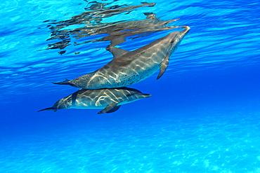 Caribbean, Bahamas, Bahama Bank, two Atlantic Spotted Dolphin, Stenella plagiodon