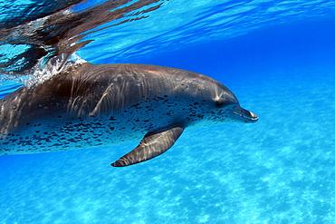 Atlantic Spotted Dolphin, Stenella plagiodon, close-up