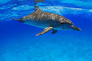 Atlantic Spotted Dolphin, Stenella plagiodon