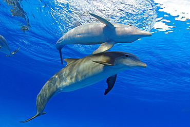 Two Atlantic Bottlenose Dolphin, (Tursiops truncatus)