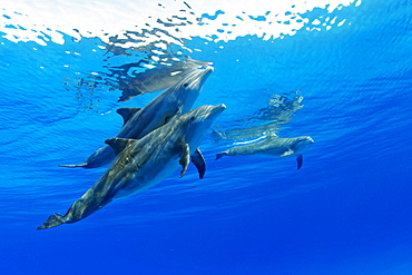 Three Atlantic Bottlenose Dolphin, Tursiops truncatus
