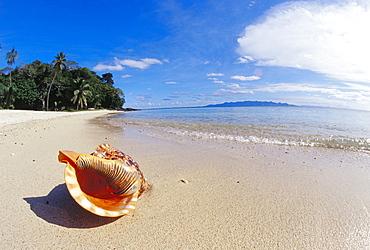 Fiji, Charonia tritonis, A Triton's trumpet shell on sandy beach beside ocean