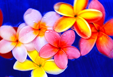 Studio shot of mixed color plumeria flowers, soft focus, dark blue background