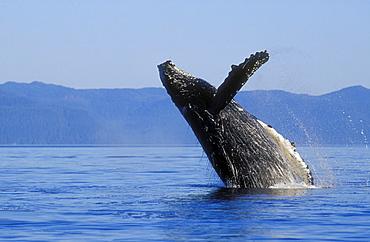 Alaska, Panhandle, Inside Passage, humpback whale breaching.