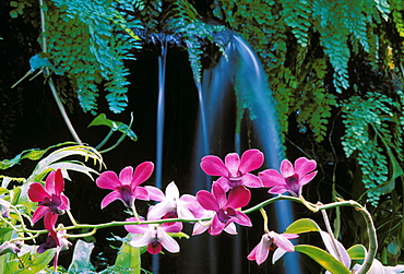 New Jersey, Linwood, Purple dendrobium orchid flowers on plant in front of small lush waterfall scene with ferns,