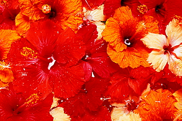 Close-up of red, yellow, orange tropical hibiscus flowers in water