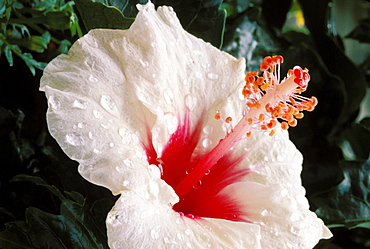New Jersey, Somers Point, white hibiscus with red center covered in dew
