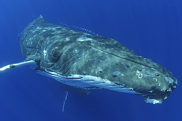 Hawaii, Humpback Whale (Megaptera novaeangliae), [For use up to 13x20 only]
