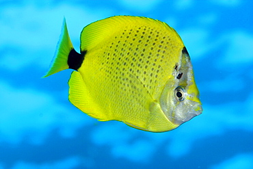 Hawaii, Close-up side view of Milletseed Butterfly Fish in blue water [For use up to 13x20 only]