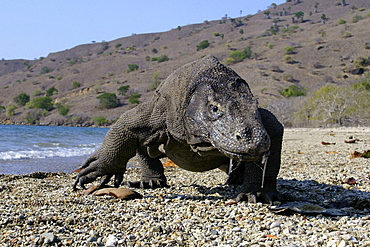 Indonesia, Komodo Dragon National Park, Komodo Dragon [For use up to 13x20 only]