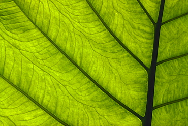 Extreme close-up of green leaf, main stem with veins running through.