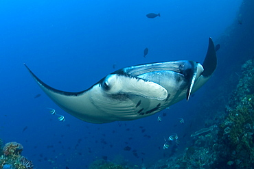 Indonesia, Komodo, Manta ray underwater near reef and fish
