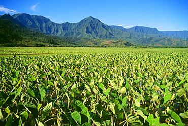 Hawaii, Kauai, Hanalei Valley, close-up wet taro farm