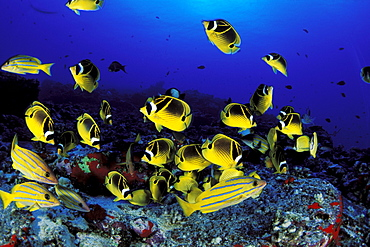 Hawaii, Maui, Molokini Crater, Reef scene with BlueStripe Snapper and Raccoon Butterflyfish.