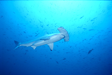 Hammerhead Shark with lots of fish in background, full length side angle A78H