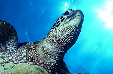 Hawaii, Big Island, Kona, green sea turtle free swimming, close-up of head sunburst A77F