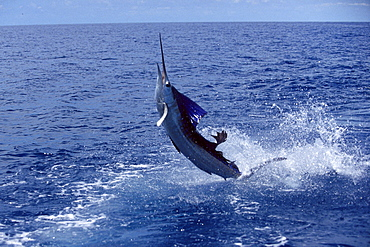 Costa Rica, Sailfish jumps vigorously out of water,