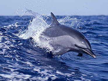 Hawaii, Pacific Spotted Dolphin skimming the surface, B1886