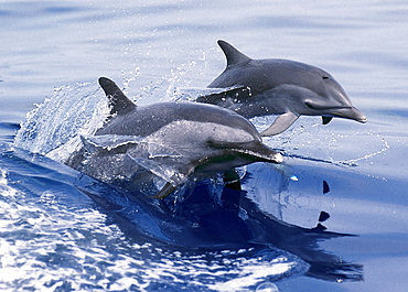Hawaii, Two Pacific Spotted Dolphins at surface of glassy ocean with reflections B1882