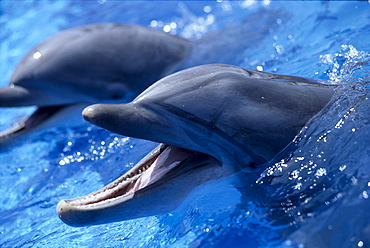 California, San Diego, Sea World, Bottlenose Dolphin (Tursiops truncatus) pair, B1875