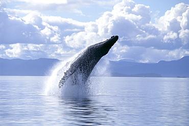 Alaska, Inside Passage, Humpback Whale (Megaptera novaeangliae) breach B2005