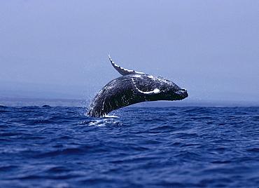Hawaii, Humpback Whale (Megaptera novaeangliae) breaching B1980