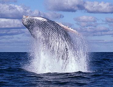 Mexico, Revillagigedo Islands, Humpback Whale (Megaptera novaeangliae) breaches B1981