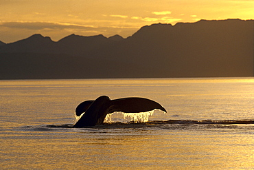 Alaska, Frederick Sound, Humpback Whale (Megaptera novaeangliae) tail, golden reflections at sunset B2008