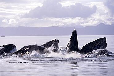 Alaska, Inside Passage, Humpback Whale (Megaptera novaeangliae) lunge feeding B1989