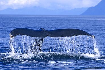 Alaska, Frederick Sound, Humpback Whale (Megaptera novaeangliae) fluke, C2008