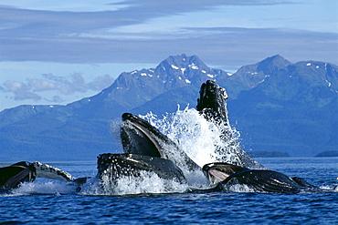 Alaska, Humpback Whale (Megaptera novaeangliae) lunge feeding / bubble netting, herring C2028