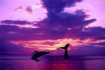 [DC] Two Humpback Whales with dramatic purple sunset, one breaching, one tail (Megaptera novaeangliae) C2020