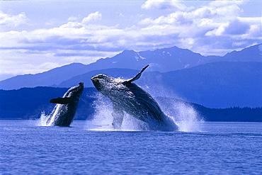 [DC] Alaska, Lynn Canal, Two Humpback Whales breaching, (Megaptera novaeangliae) C2039