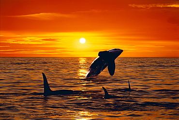 [DC] Three Orca (Orcinus orca) swim at sunset, one breaches C2041