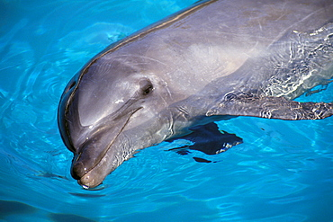 Hawaii, Pacific Bottlenose Dolphin (Tursiops gilli) close-up at surface C1992