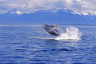 Alaska, Humpback Whale (Megaptera novaeangliae) breaching Inside Passage with snowcapped mountains background distance D1970
