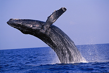 Hawaii, Close-up side view of Humpback Whale (Megaptera novaeangliae) breaching, Pacific Ocean D1951